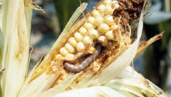 pests cause a huge damage to corn yield in Africa